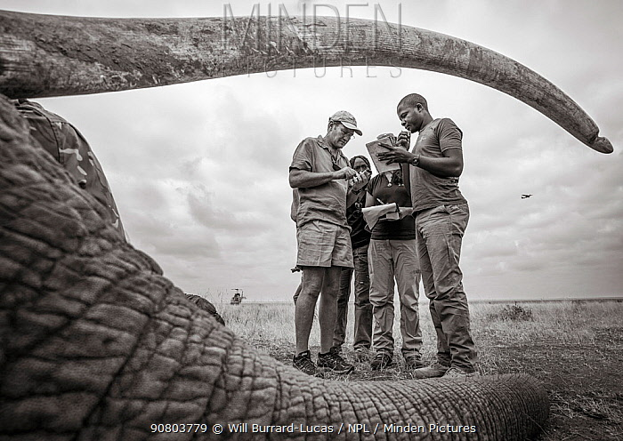 Black and white image of people viewed through sedated African elephant (Loxodonta africana) tusks during radio collaring operation. Tsavo Conservation Area, Kenya. Editorial use only.