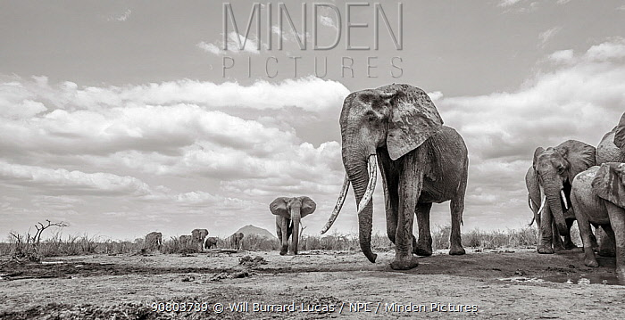 Black and white image of African elephant (Loxodonta africana) female with large tusks, Tsavo Conservation Area, Kenya. Editorial use only.