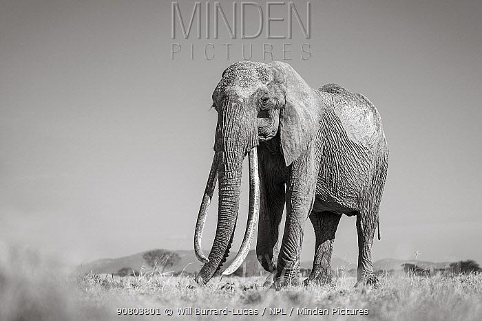 Black and white image of African elephant (Loxodonta africana) female with large tusks, Tsavo Conservation Area, Kenya. Editorial use only.