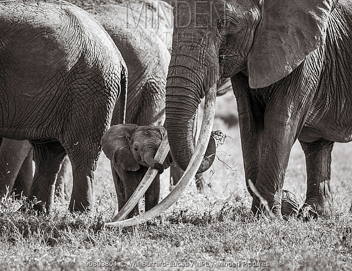 Black and white image of African elephant (Loxodonta africana) herd with calf holding onto adults tusk with trunk. Tsavo Conservation Area, Kenya. Editorial use only.