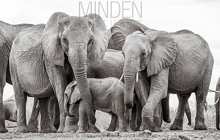 Black and white image of African elephant (Loxodonta africana) herd with calf, Tsavo Conservation Area, Kenya. Editorial use only.