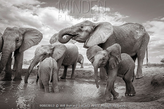 Black and white image of African elephant (Loxodonta africana) herd at waterhole, Tsavo Conservation Area, Kenya. Taken with a remote camera buggy / BeetleCam. Editorial use only.
