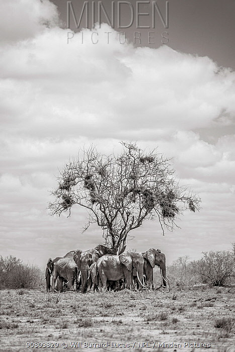 Black and white image of African elephant (Loxodonta africana) herd resting under tree,Tsavo Conservation Area, Kenya. Editorial use only.