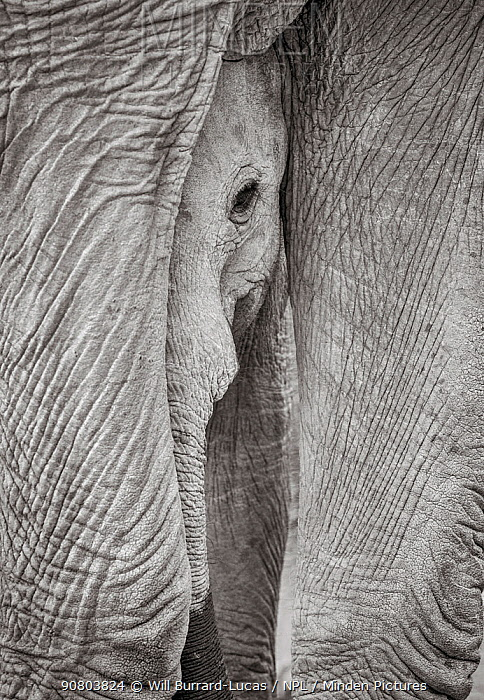 Black and white image of African elephant (Loxodonta africana) calf loking out between legs of adult, Tsavo Conservation Area, Kenya. Editorial use only.