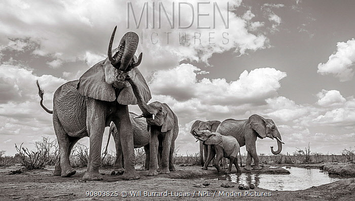 Black and white image of African elephant (Loxodonta africana) herd with calves at waterhole, Tsavo Conservation Area, Kenya. Taken with a remote camera buggy / BeetleCam. Editorial use only.