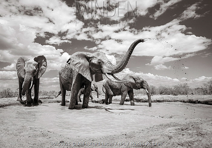 Black and white image of African elephant (Loxodonta africana) herd Tsavo Conservation Area, Kenya. Taken with a remote camera buggy / BeetleCam. Editorial use only.