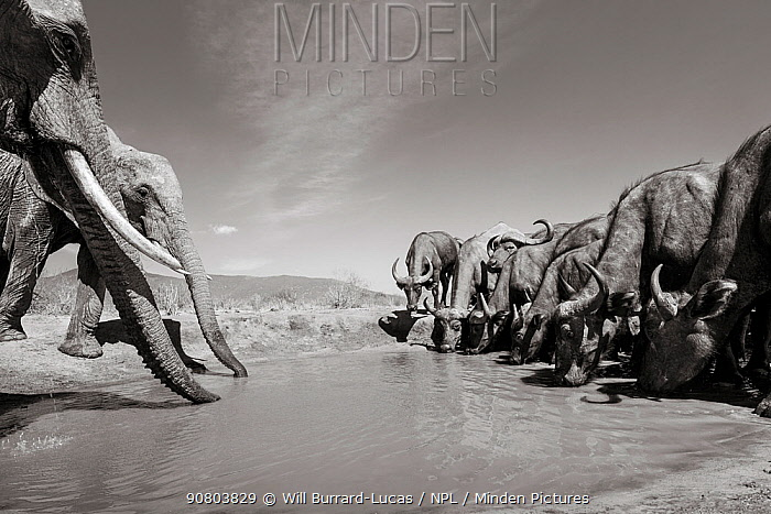 Black and white image of African elephant (Loxodonta africana) at waterhole with African buffalo (Syncerus caffer) Tsavo Conservation Area, Kenya. Taken with a remote camera buggy / BeetleCam. Editorial use only.