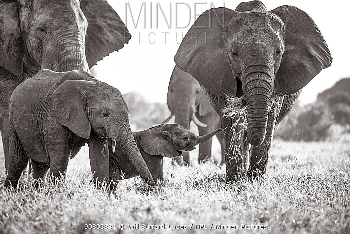 Black and white image of African elephant (Loxodonta africana) herd, tuskless female eating with calves nearby, Tsavo Conservation Area, Kenya. Taken with a remote camera buggy / BeetleCam. Editorial use only.