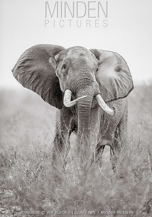 Black and white image of African elephant (Loxodonta africana) bull, Tsavo Conservation Area, Kenya. Taken with a remote camera buggy / BeetleCam. Editorial use only.