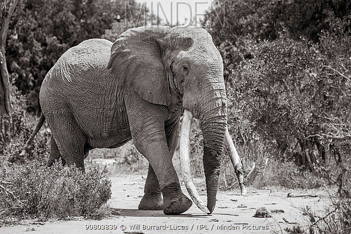 Black and white image of African elephant (Loxodonta africana) bull with large tusks, Tsavo Conservation Area, Kenya. Editorial use only.