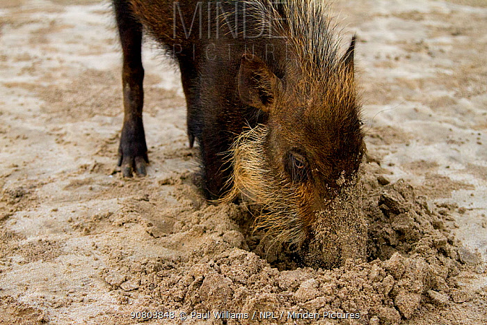 Bearded pig (Sus barbatus) digging in sand, foraging for crabs on beach, Bako National Park, Sarawak, Borneo