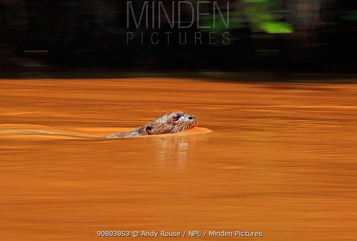 Giant Otter (Pteronura brasiliensis) swimming , Pantanal, Brazil Motion blur