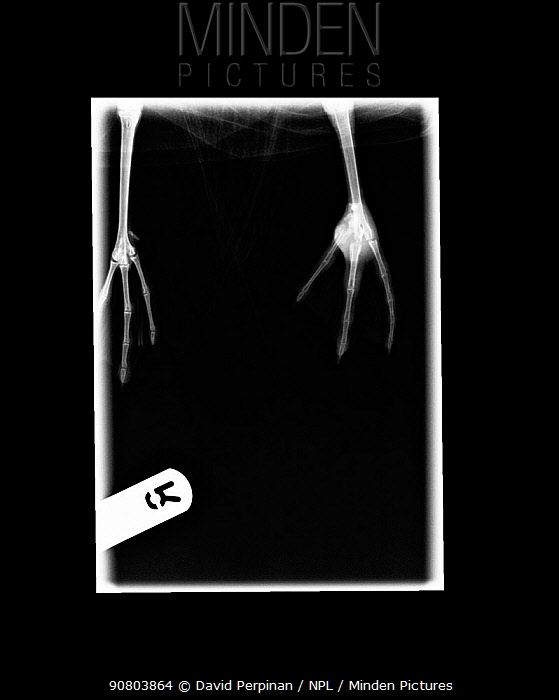 Radiography of a wild herring gull (Larus argentatus) showing osteomyelitis affecting the left tarsal joint. Small repro only