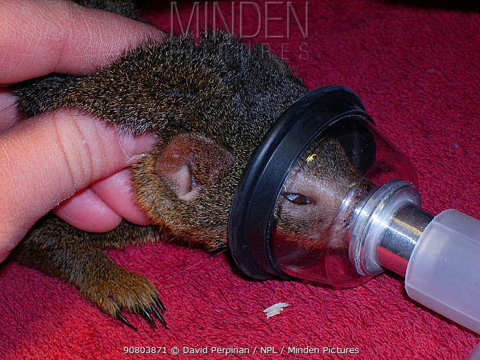 Anesthesia of a captive Common dwarf mongoose (Helogale parvula). Small repro only.