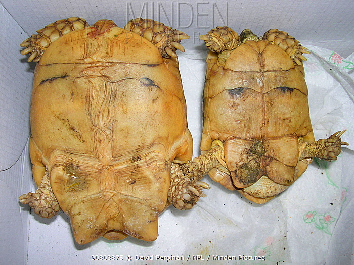 Female (left) and male (right) adult Egyptian tortoises (Testudo kleinmanni). Sexual dimorphism. Captive (exotic pet trade). Spain. Ventral view. small repro only