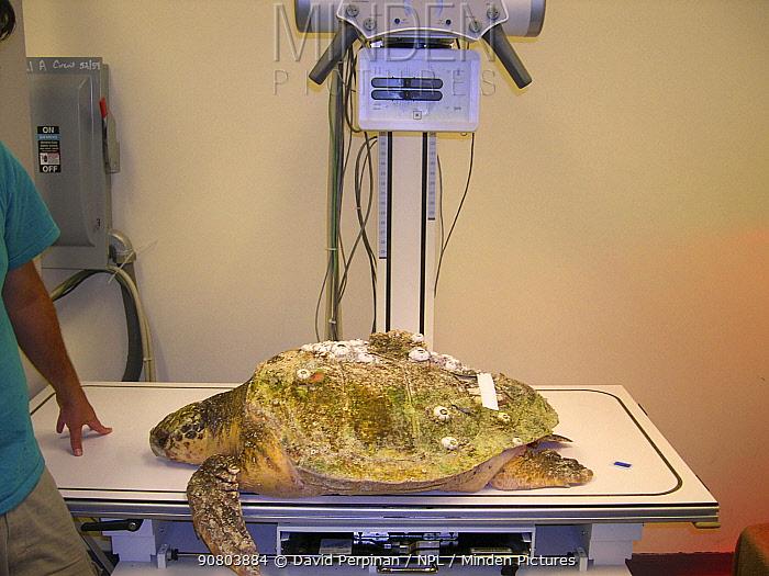 Loggerhead sea turtle (Caretta caretta) under rehabilitation getting ready for a radiograph. Rehabilitation centre, Georgia, United States Small repro only