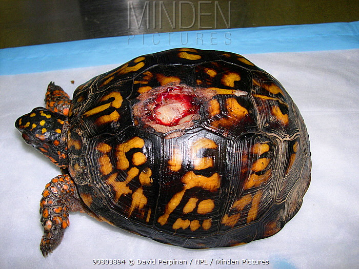 Eastern box turtle (Terrapene carolina) wild animal with carapacial fracture from a lawn mower. This is a common problem in wild box turtles from semi-urban areas. Small repro only.