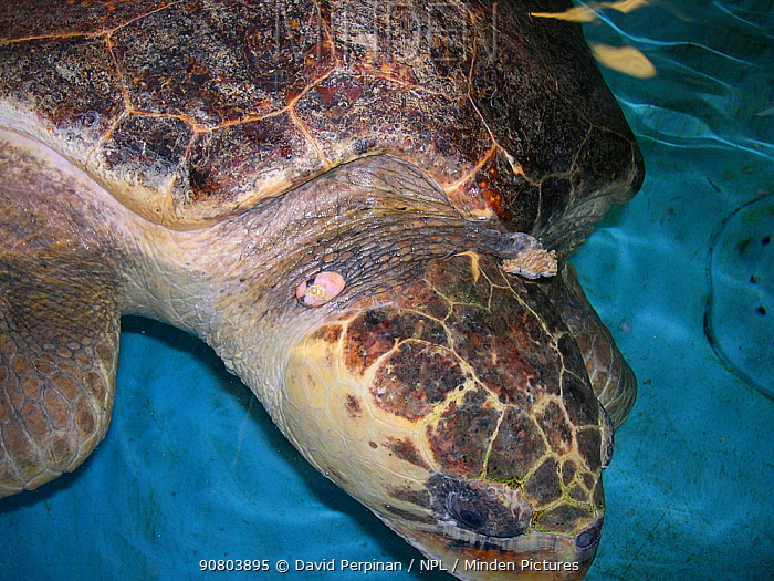 Loggerhead sea turtle (Caretta caretta) under rehabilitation with fibropapillomatosis affecting the neck. This is a common disease in some wild populations of sea turtles. Georgia, United States 