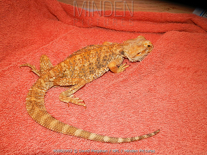 Cachectic or emaciated captive Bearded dragon (Pogona vitticeps) confiscated by police due to poor care'United Kingdom. Small repro only