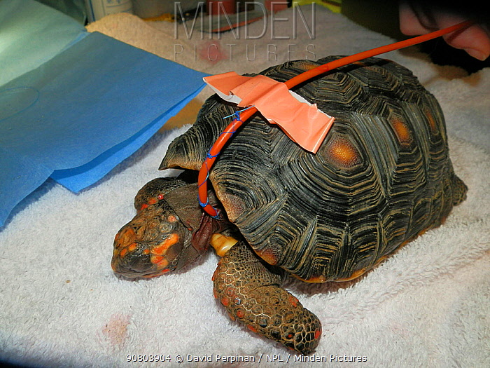 Oesophagostomy tube placed in a captive Red-footed tortoise (Chelonoidis carbonaria). These tubes are placed for animals that refuse eating by themselves. Small repro only.
