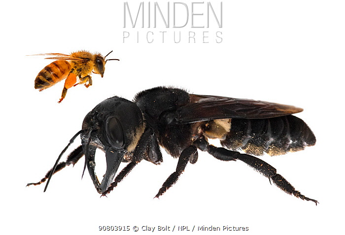 Composite image of Wallace's giant bee (Megachile pluto) with European honey bee (Apis melifera). This is the world's largest bee, which is approximately 4 times larger than a European honey bee. One of the first images of a living member of this species. Mollucas, Indonesia. January 2019