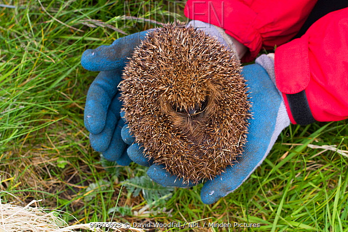 Hedgehog (Erinaceus europaeas) caught in trap to prevent it from predating Little Terns and other ground nesting birds in machair habitat. This pregnant female will be relocated to the Scottish mainland. Uist, Outer Hebrides, Scotland, UK. June.