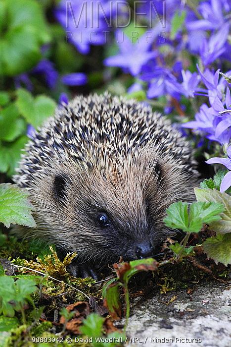 Hedgehog (Erinaceus europaeus) in Bellflower in garden, Prestatyn, Denbighshire, Wales, UK. June.