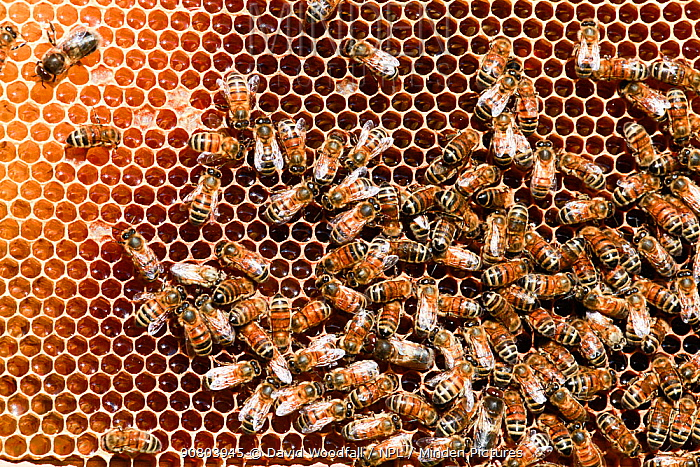 Honey Bees (Apis melifera) on comb, Epping Forest, Essex, England, UK. May.