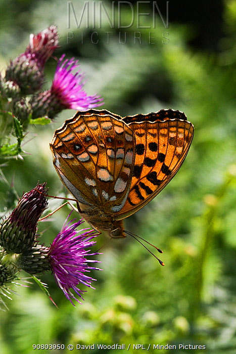 High brown fritillary (Argynnis adippe) butterfly on thistle. Ogmore Down, Wales, UK, July.