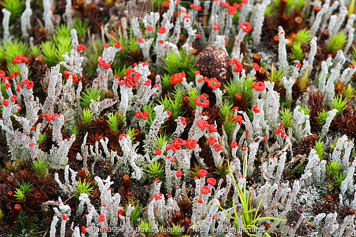 Cladonia lichens with fruiting bodies. Wild Ennerdale, Cumbria, England, UK, October 2017.