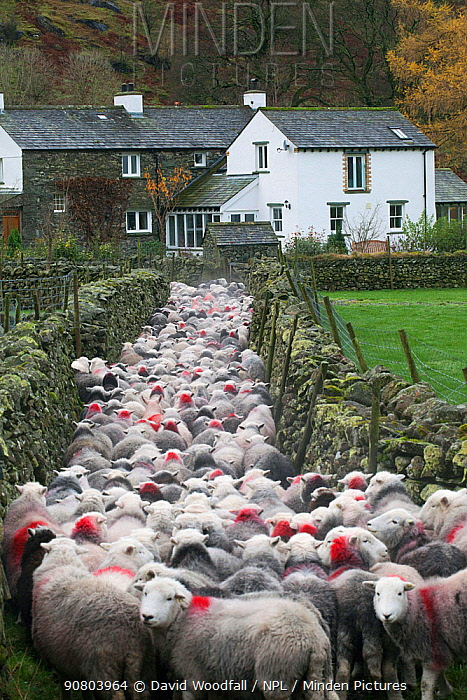 Herdwick sheep being taken off the Fells , Stonethwaite, Lake District National Park, Cumbria, England, UK, November.
