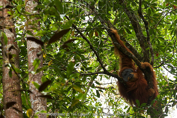 Tapanuli orangutan (Pongo tapanuliensis) Togus, adult flanged male, trying to nap in tree. Batang Toru Forest. Sumatran Orangutan Conservation Project, North Sumatran Province, Indonesia.