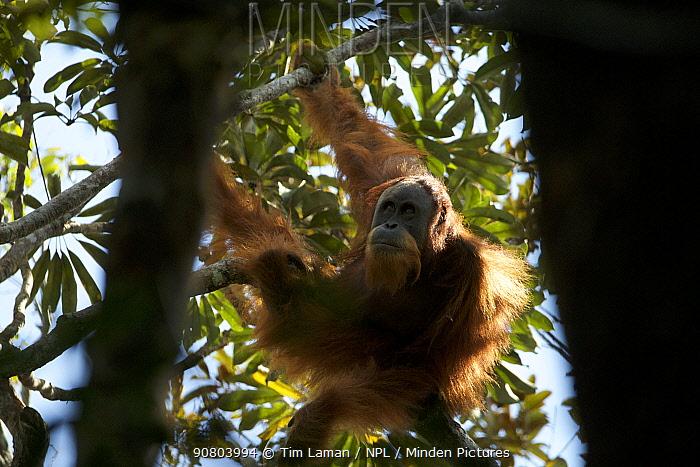 Tapanuli Orangutan (Pongo tapanuliensis) unidentified unflanged adult male, Batang Toru Forest, Sumatran Orangutan Conservation Project North Sumatran Province, Indonesia.