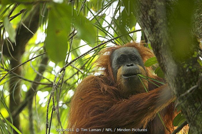 Tapanuli Orangutan (Pongo tapanuliensis) Inda, adult female, feeding on climbing Pandanus. Batang Toru Forest, Sumatran Orangutan Conservation Project, North Sumatran Province,  Indonesia