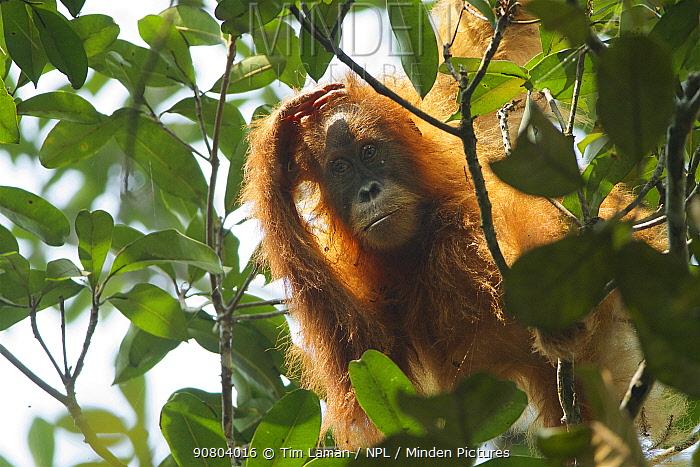 Tapanuli Orangutan (Pongo tapanuliensis) Beti, juvenile female approximate age 6 years, daughter of Beta. Batang Toru Forest, Sumatran Orangutan Conservation Project, North Sumatran Province,  Indonesia