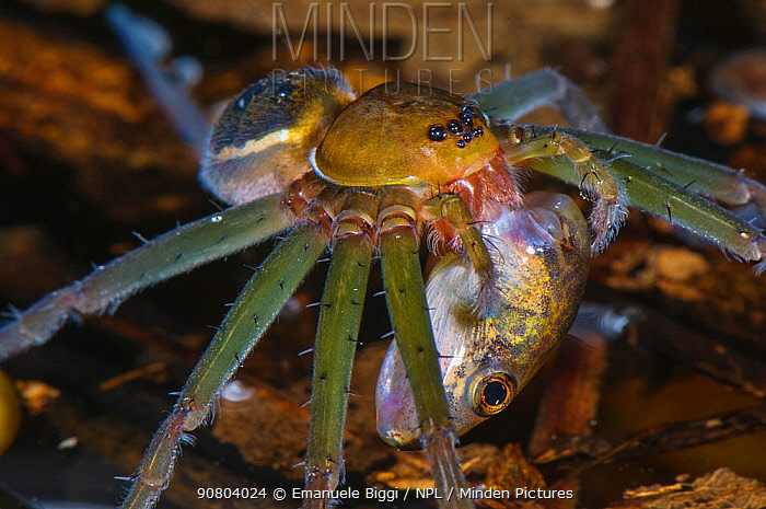 Fishing spider (Thaumasia sp.) adult female eating a tadpole, Los Amigos Biological Station, Madre de Dios, Amazonia, Peru.