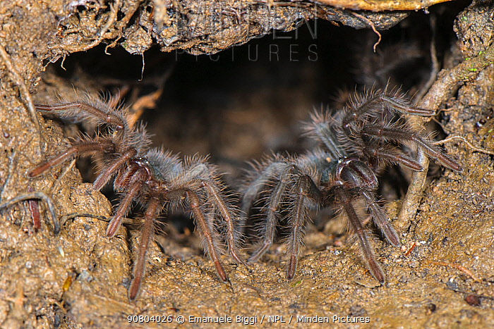 Peruvian Tarantula (Pamphobeteus sp.) young emerging from their communal burrow at night, Los Amigos Biological Station, Madre de Dios, Amazonia, Peru.
