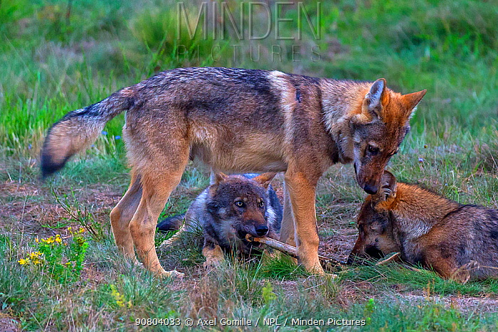 Wild wolf (Canis lupus), young wolves play-fighing in meadow, Saxony-Anhalt, Germany, August.