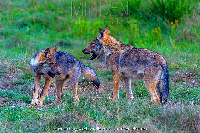 Wild wolf (Canis lupus) young play-fighing in meadow, Saxony-Anhalt, Germany, August.