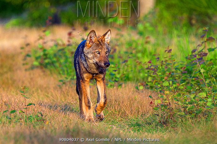 Wolf (Canis lupus) walking, Saxony-Anhalt, Germany