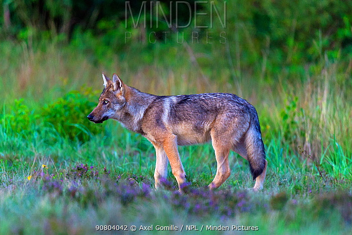 Wolf (Canis lupus), in meadow, Saxony-Anhalt, Germany