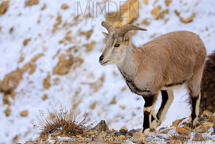 Blue Sheep or Bharal (Pseudois nayaur) male eating grass in the snow, Spiti valley, Cold Desert Biosphere Reserve, Himalaya mountains, Himachal Pradesh, India, February
