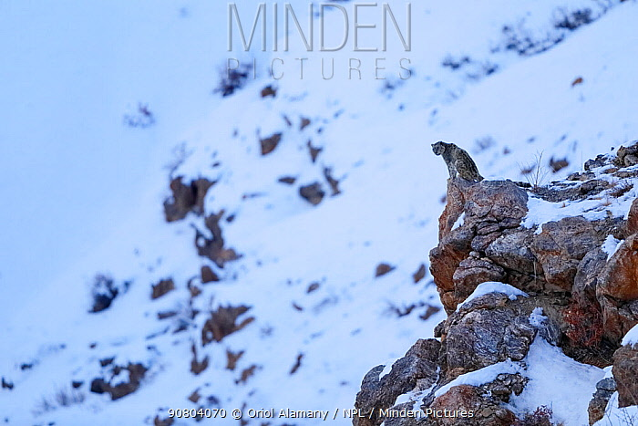 Snow leopard (Panthera uncia) old male at dusk looking from a cliff ledge in Spiti valley, Cold Desert Biosphere Reserve, Himalaya mountains, Himachal Pradesh, India, February