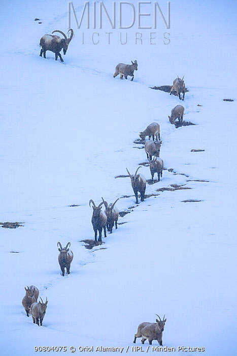 Himalayan ibex (Capra sibirica) during a snowfall, coming down the mountain at dusk to sleep at lower altitude, around Kibber village, Spiti valley, Cold Desert Biosphere Reserve, Himalaya mountains, Himachal Pradesh, India, February