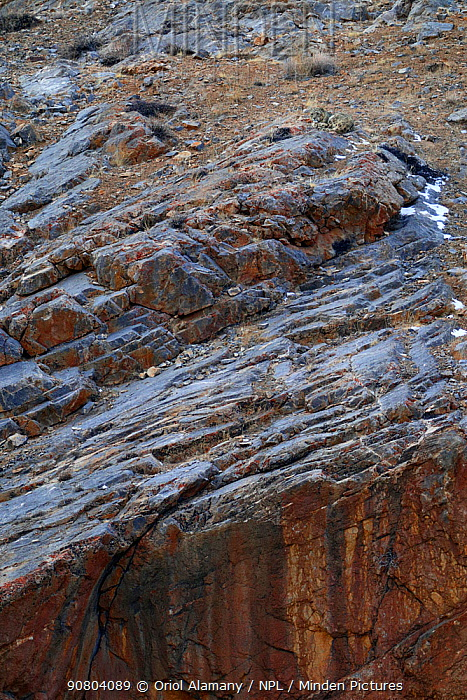 Snow leopard (Panthera uncia) male resting on rocks at 4000 m at dusk in Spiti valley, Cold Desert Biosphere Reserve, Himalaya mountains, Himachal Pradesh, India, February