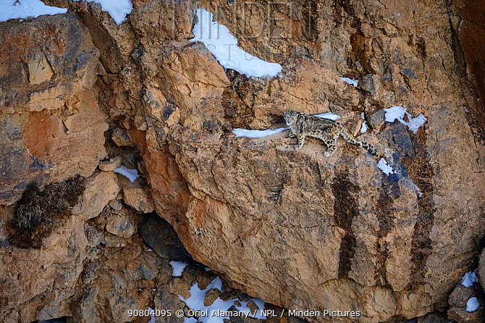 Snow leopard (Panthera uncia) male walking on a cliff ledge at dusk in Spiti valley, Cold Desert Biosphere Reserve, Himalaya mountains, Himachal Pradesh, India, February