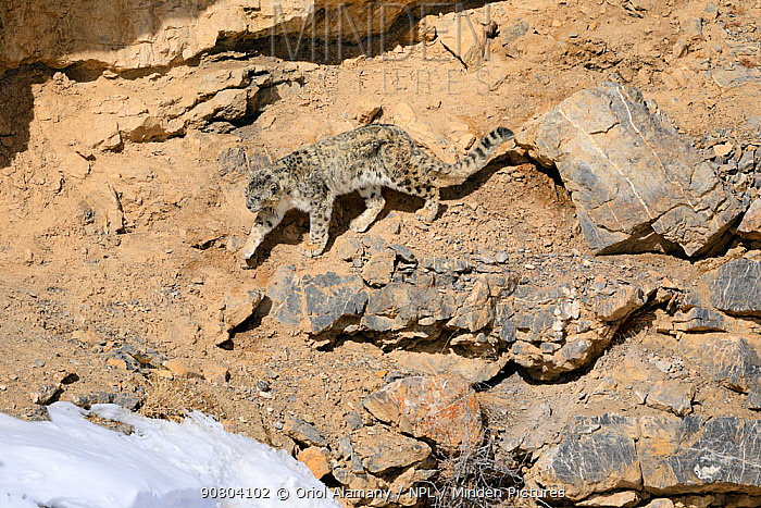Snow leopard (Panthera uncia) old male walking on a cliff ledge in Spiti valley, Cold Desert Biosphere Reserve, Himalaya mountains, Himachal Pradesh, India, February