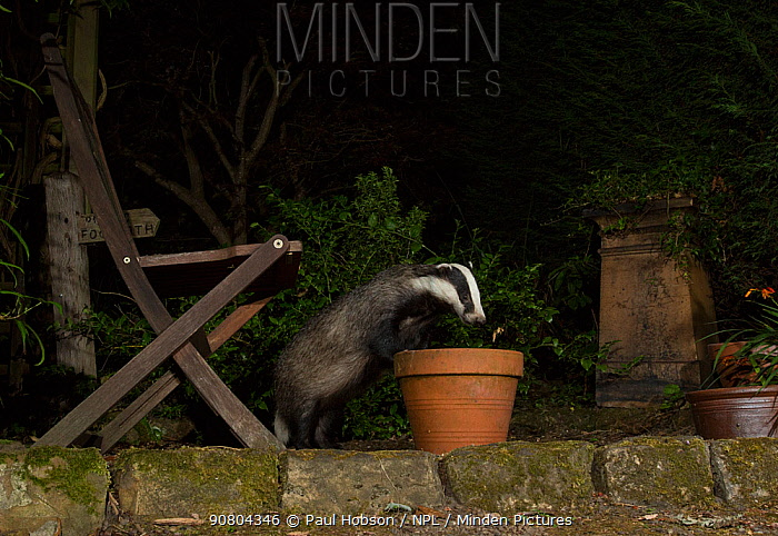 Badger (Meles meles) investigating flowerpot in urban garden at night. Sheffield, England, UK. August.