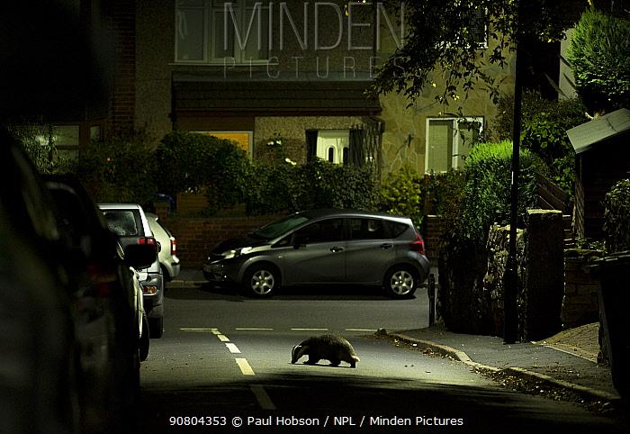 Badger (Meles meles) crossing road in residential area at night. Sheffield, England, UK. October 2018.