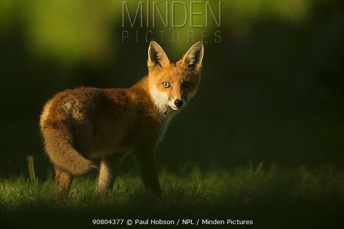 Red fox (Vulpes vulpes) cub looking at camera, in morning. Sheffield, England, UK. June.